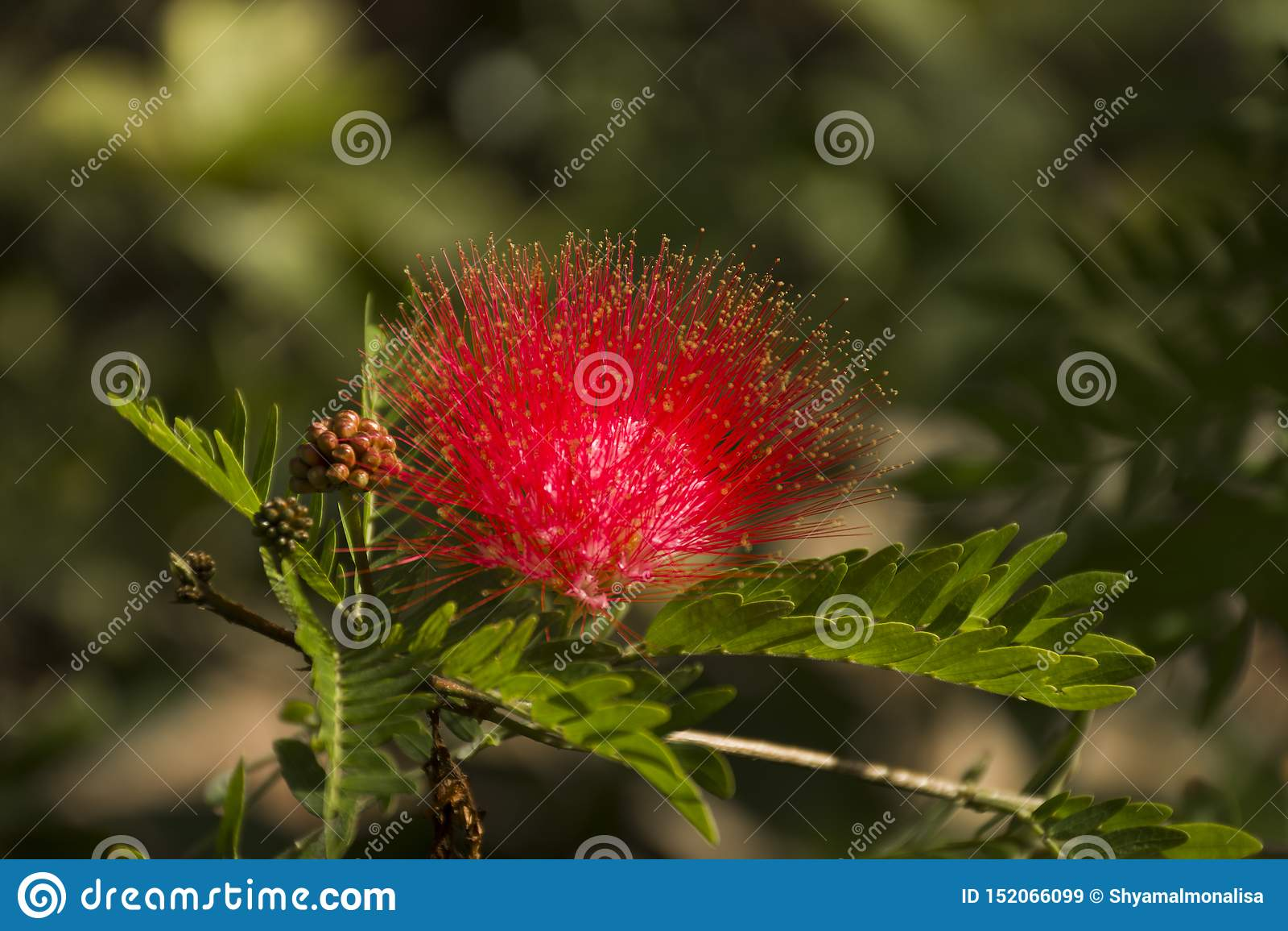 Mooie rode bloem die in het park bloeien openlucht
