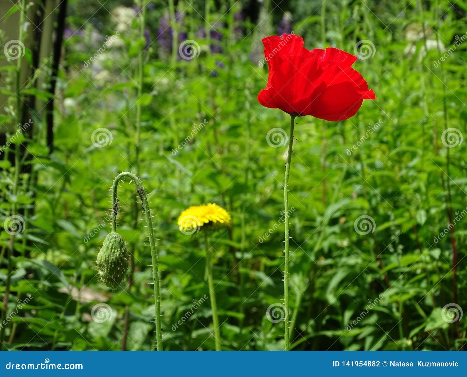 Mooie rode dichte omhooggaand van de papaverbloem in het groene gras