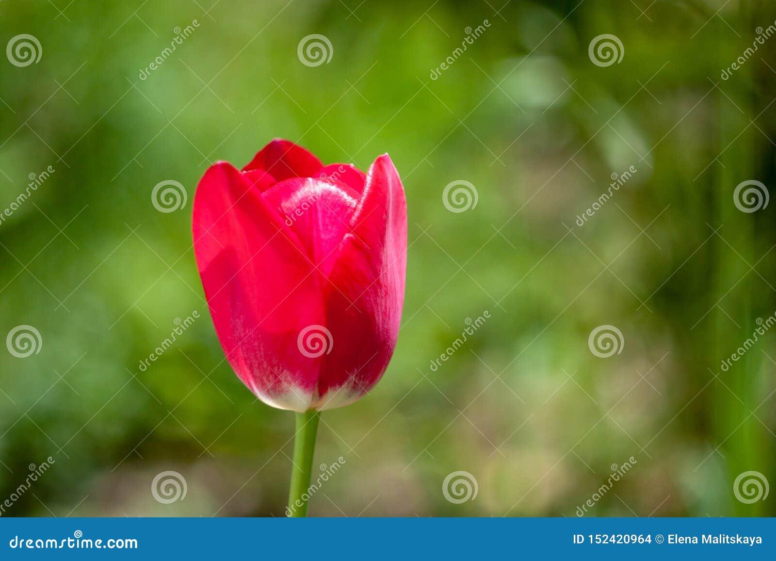 Mooie rode tulpenbloem op vage groene achtergrond