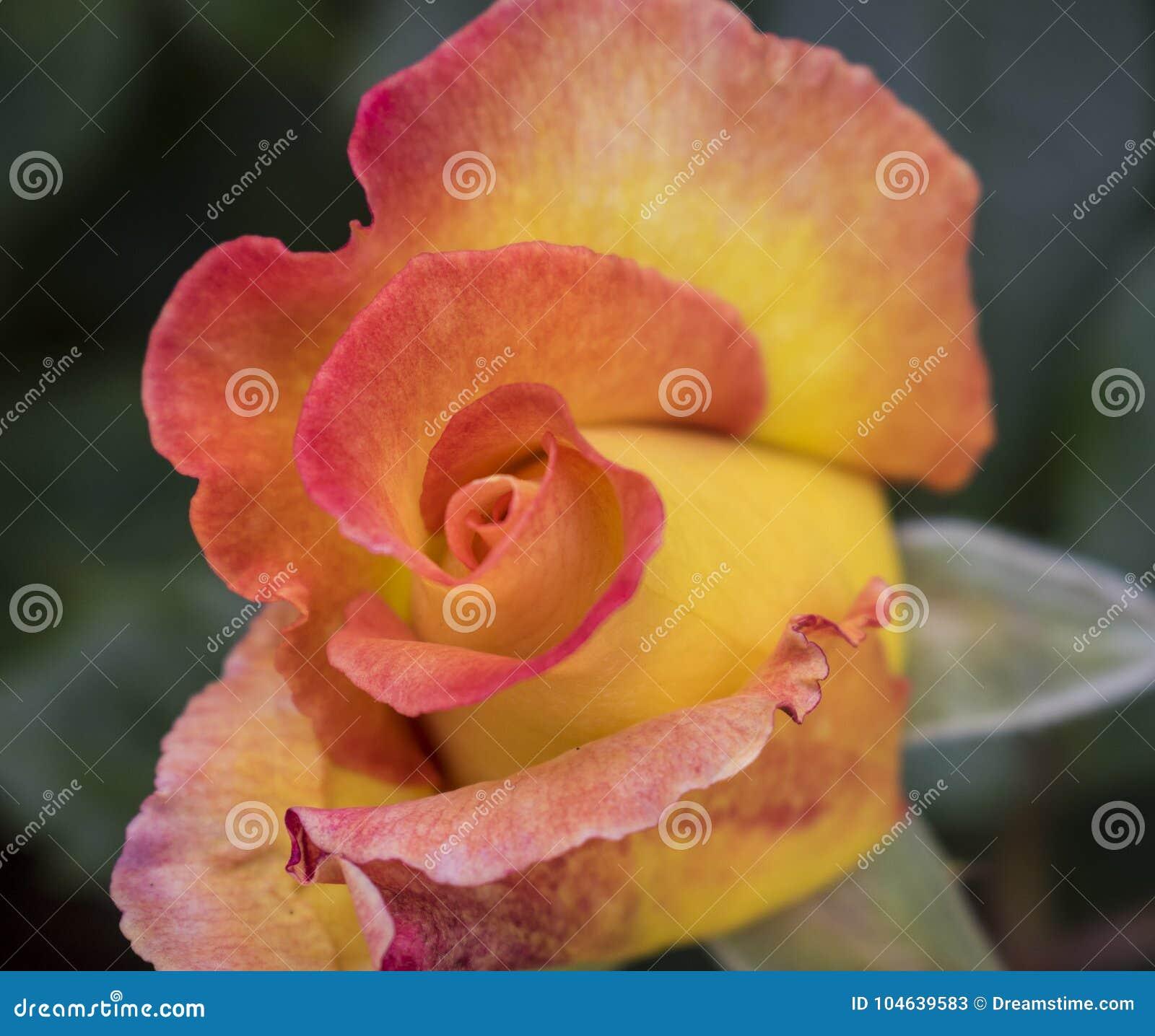 Download Mooie Rood En Geel Nam Te Openen Knop Enkel Ongeveer Toe Stock Afbeelding - Afbeelding bestaande uit beeld, mooi: 104639583