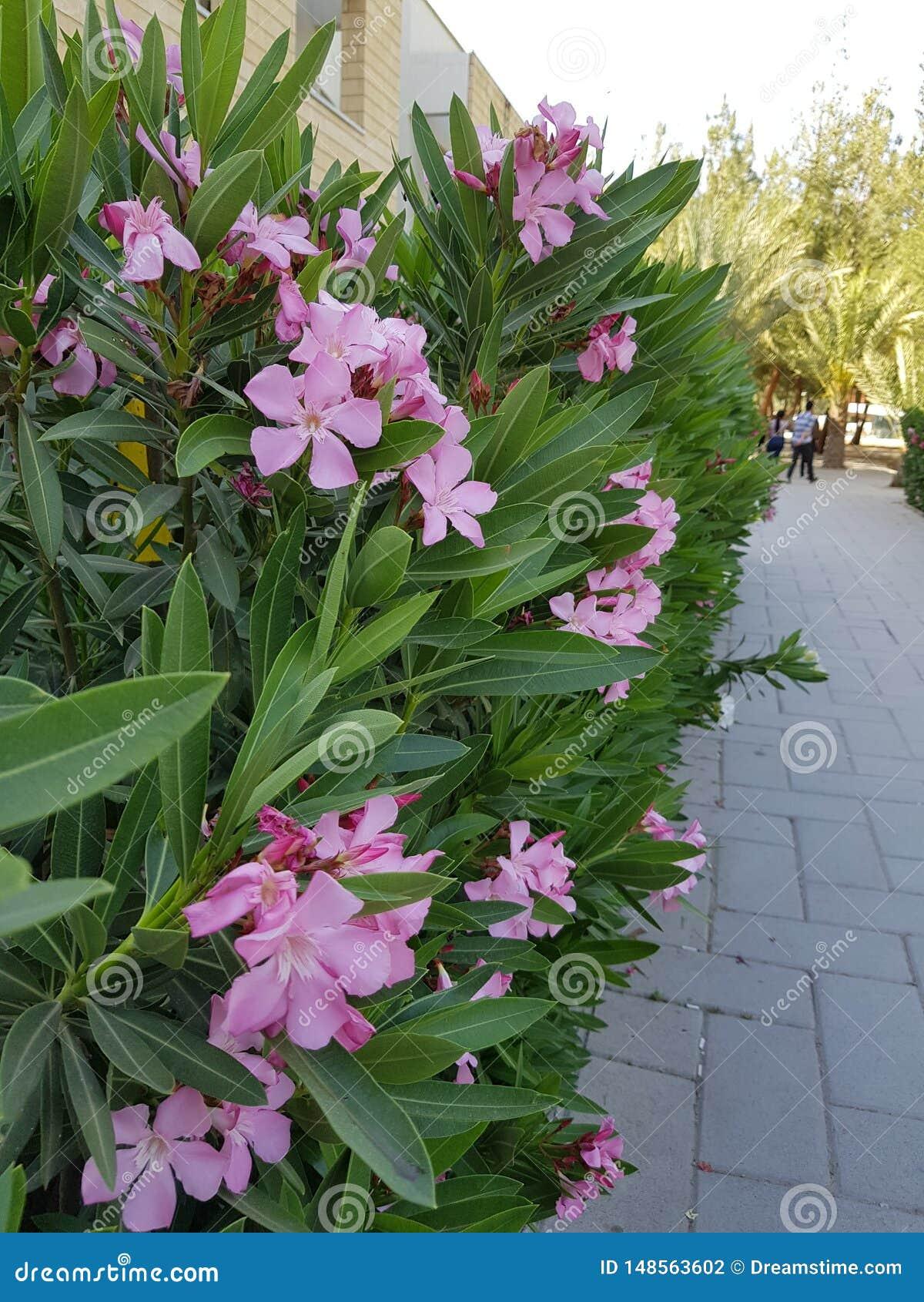 Mooie roze bloemen op de campus van de Universiteit van Cyprus