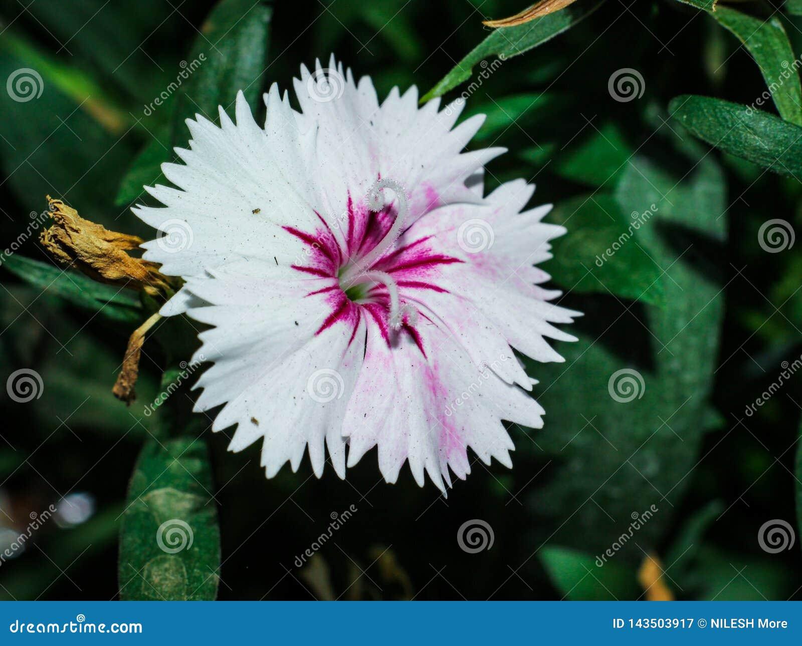 Mooie roze en witte bloem