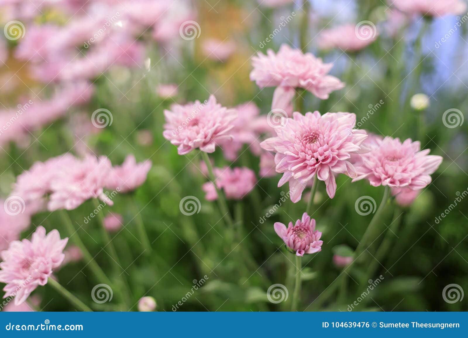 Download Mooie Roze Gerberabloem In De Tuin Stock Foto - Afbeelding bestaande uit mooi, achtergrond: 104639476