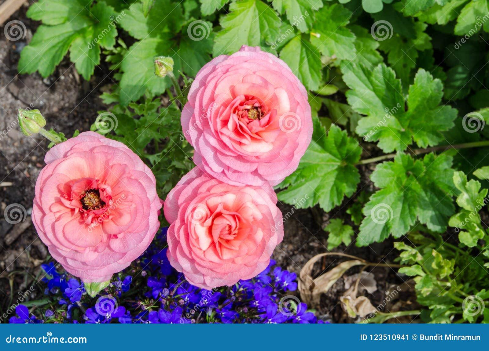 Mooie mooie roze Ranunculus of de Boterbloem bloeien bij Honderdjarig Park, Sydney, Australië