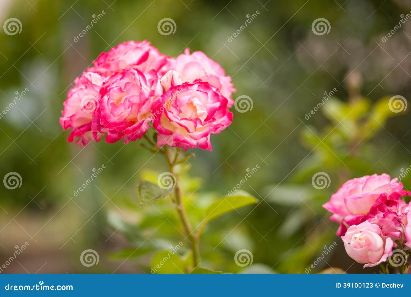 Mooie rozen in de tuin
