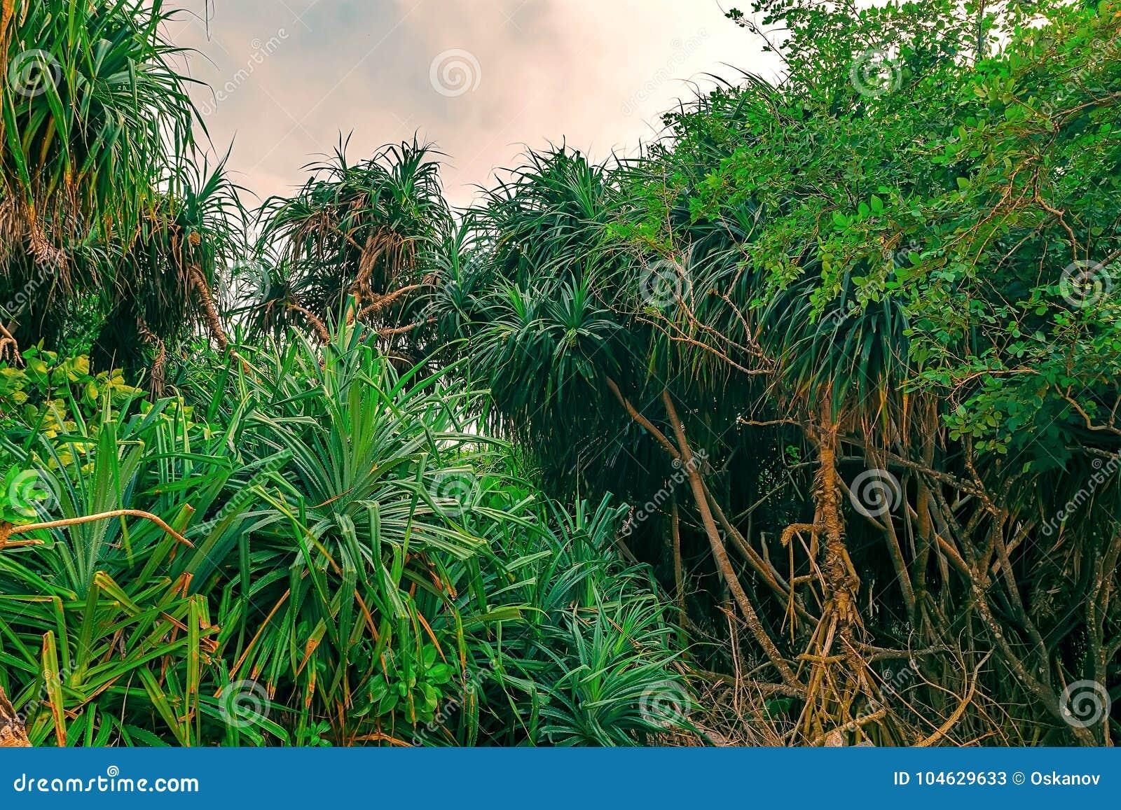 Download Mooie schroefpijnboom stock afbeelding. Afbeelding bestaande uit achtergrond - 104629633