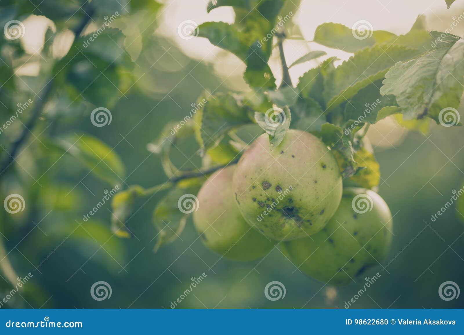 Mooie smakelijke verse appelen bij boom het Stemmen