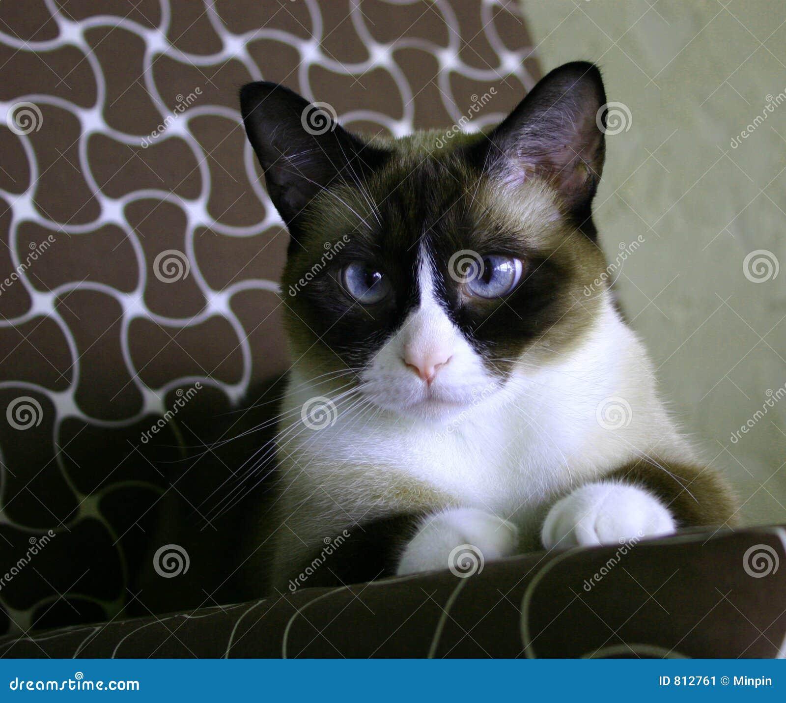 Mooie sneeuw-betaalde Siamese kat