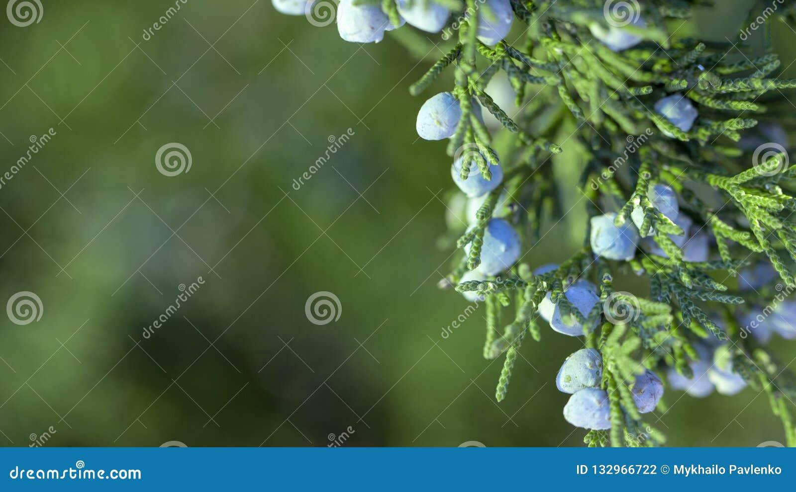 Mooie struik van een jeneverbes met bessen
