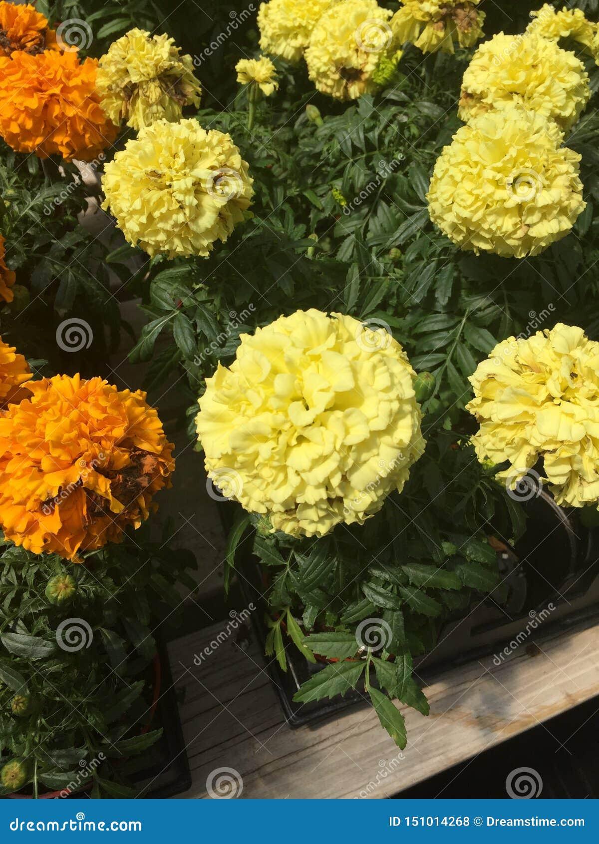 Mooie, trillende gele en oranje bloemen