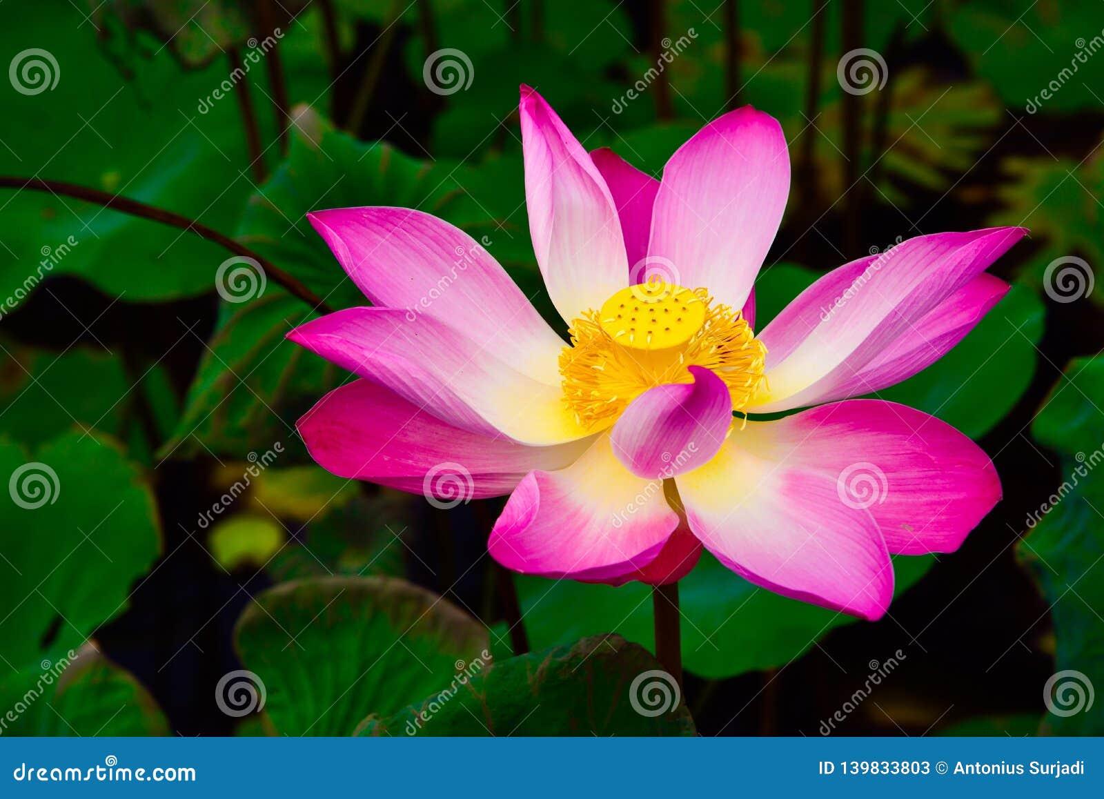 Mooie tropische kleurrijke bloem in regenwoudwildernis in Oost-Azië