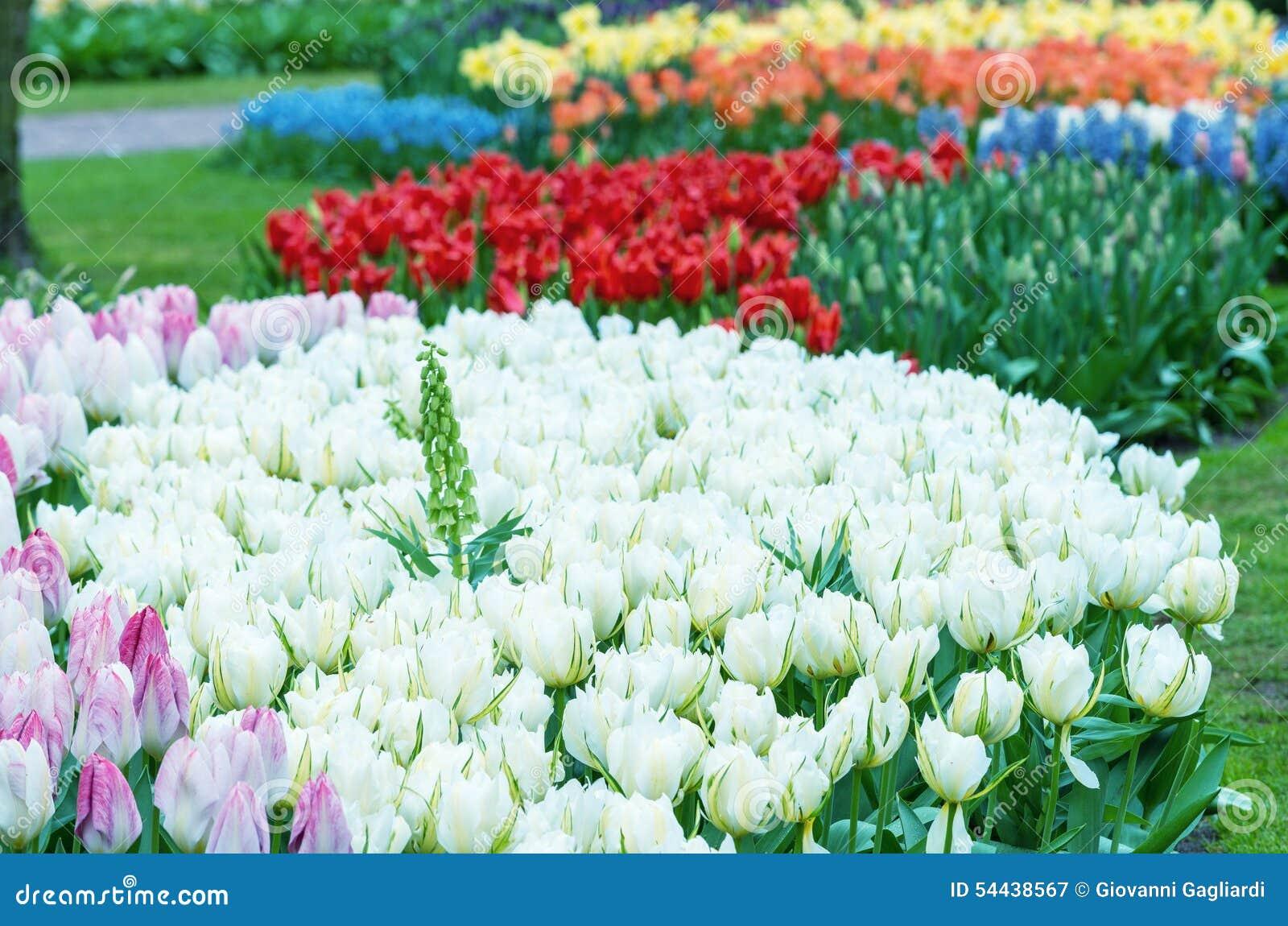 Mooie tulpenachtergrond in keukenhof tuinen nederland stock