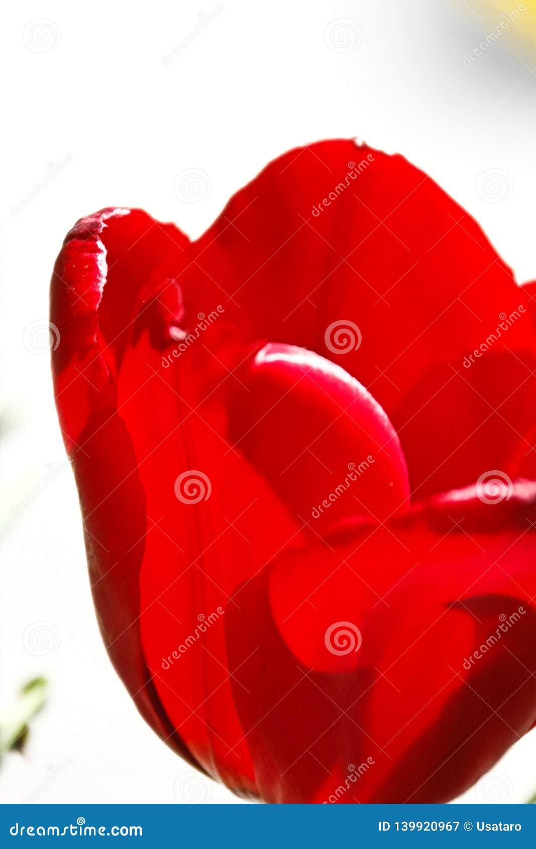 Mooie tulpenbloem op tulpengebied bij de winter of de lentedag