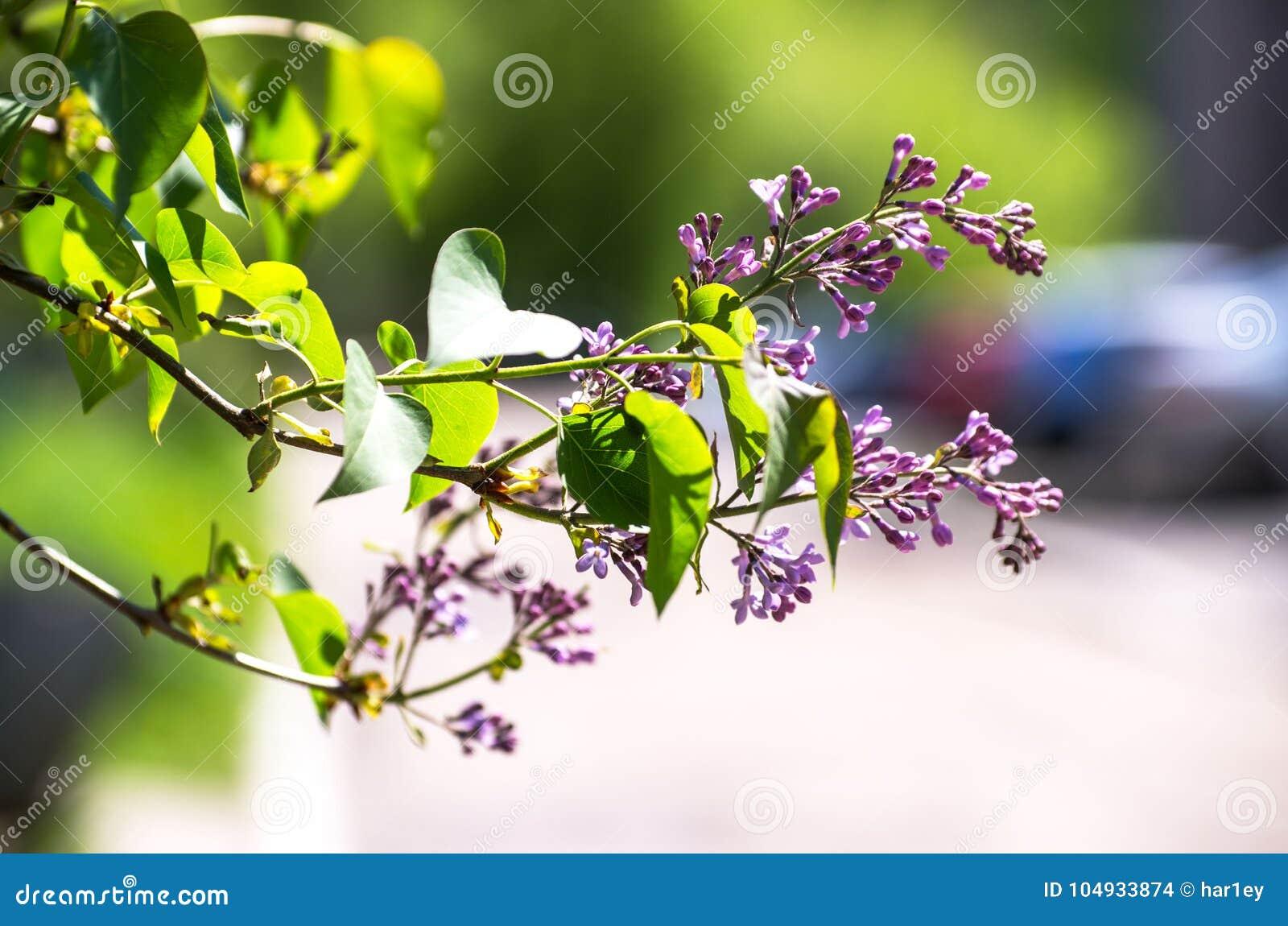 Mooie verse purpere violette bloemen Sluit omhoog van purpere bloemen De lentebloem, een tak van sering