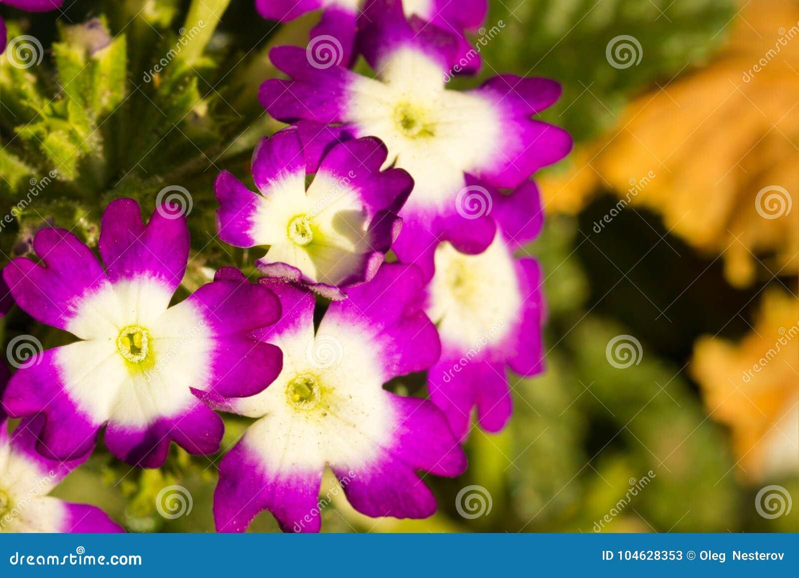 Download Mooie Viooltjes In De Vroege Herfst Stock Afbeelding - Afbeelding bestaande uit midden, nave: 104628353