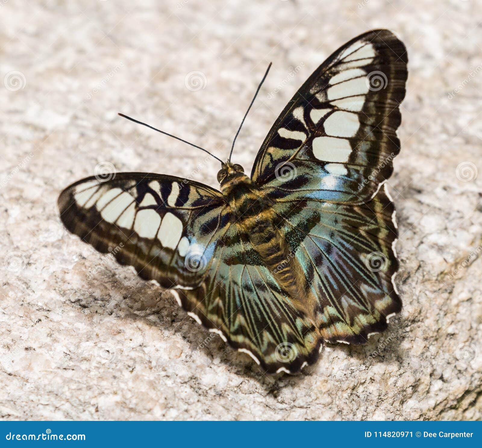Mooie Vlinder in Tucson