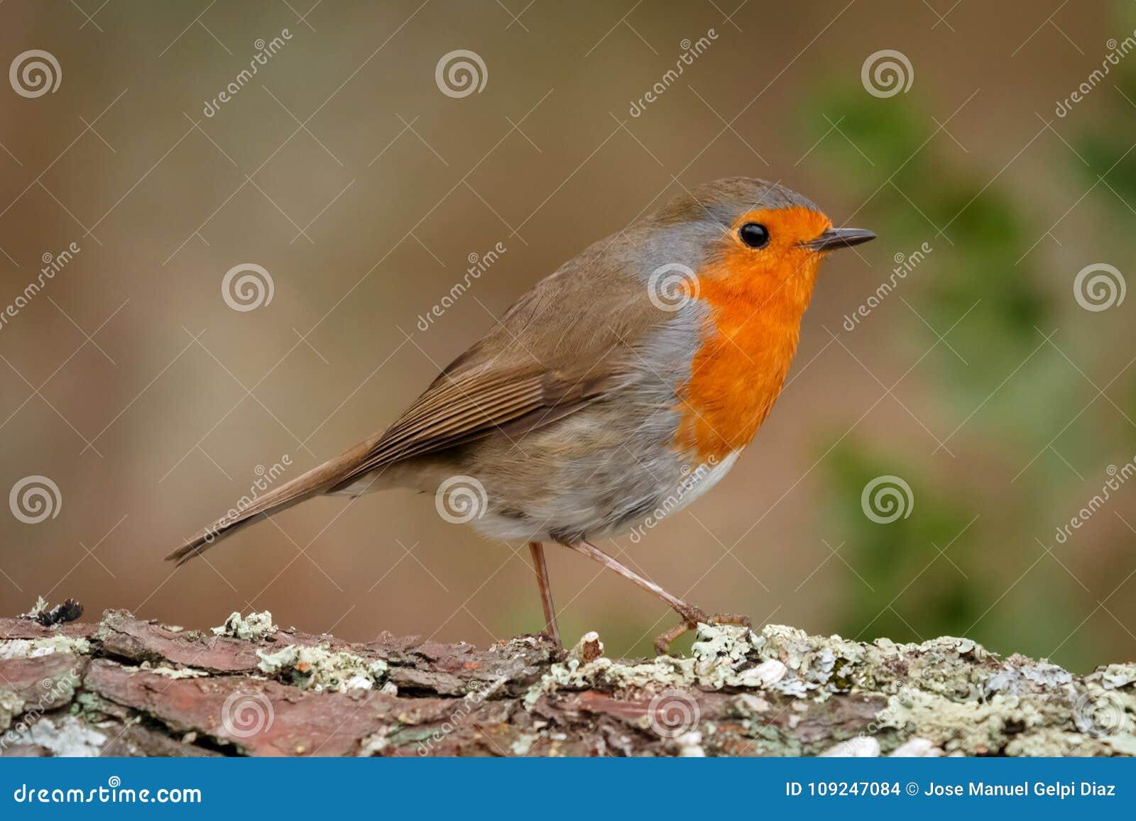 Mooie vogel met een aardig oranjerood gevederte