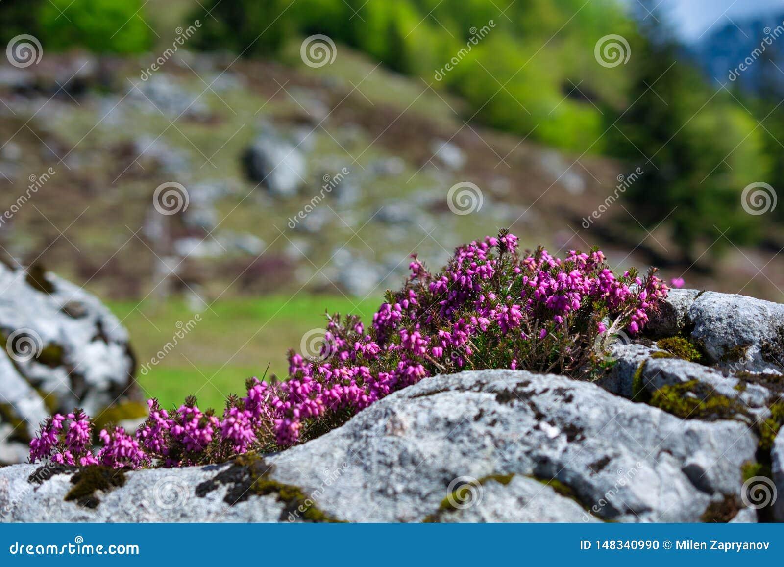 Mooie Wilde Alpiene bloemen tussen de rotsen