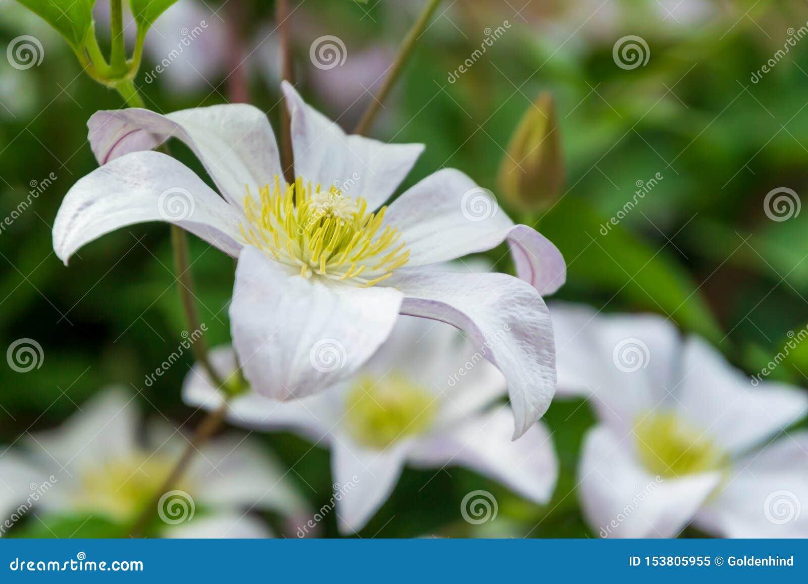 Mooie witte clematissenbloesem Achtergrond met witte bloemen