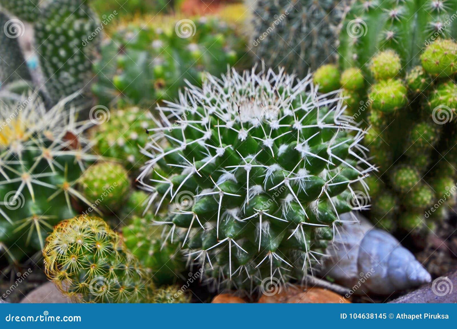 Download Mooie Witte Doornen Van Echinocactus Stock Afbeelding - Afbeelding bestaande uit growth, woestijn: 104638145