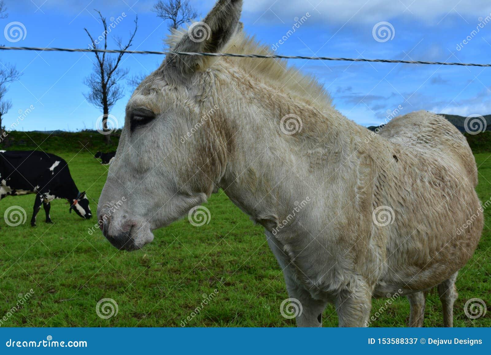 Mooie Witte Ezel die zich op een Grasgebied bevinden