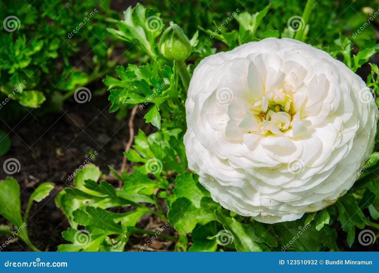 Mooie mooie witte Ranunculus of de Boterbloem bloeien bij Honderdjarig Park, Sydney, Australië