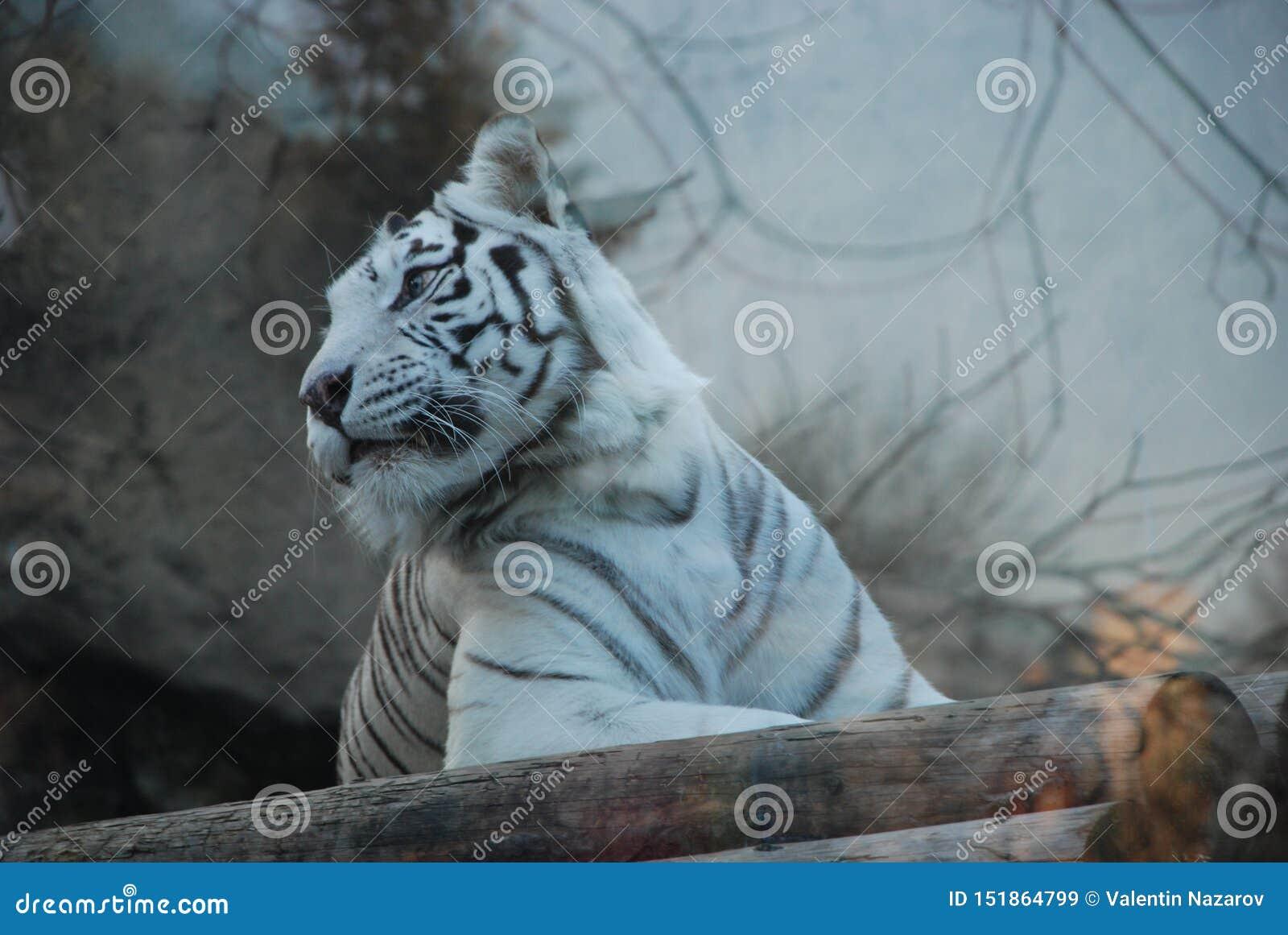 Mooie witte tijger in een dierentuin van Moskou