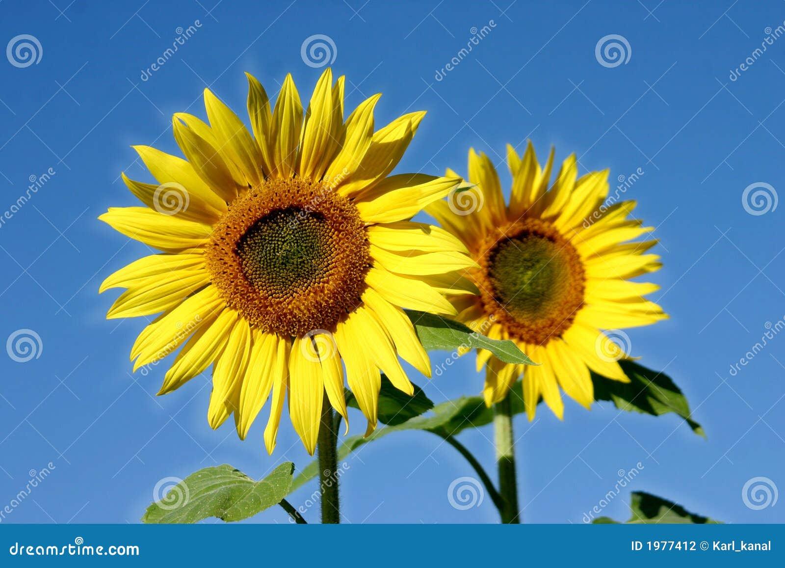 Afbeeldingen Zonnebloemen