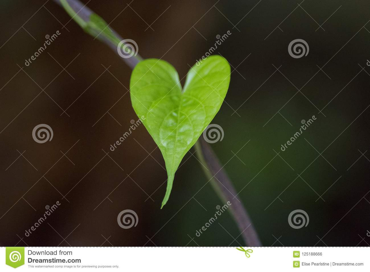 Heart Shaped Leaf Of A Moon Vine A Perennial Climbing Vine With