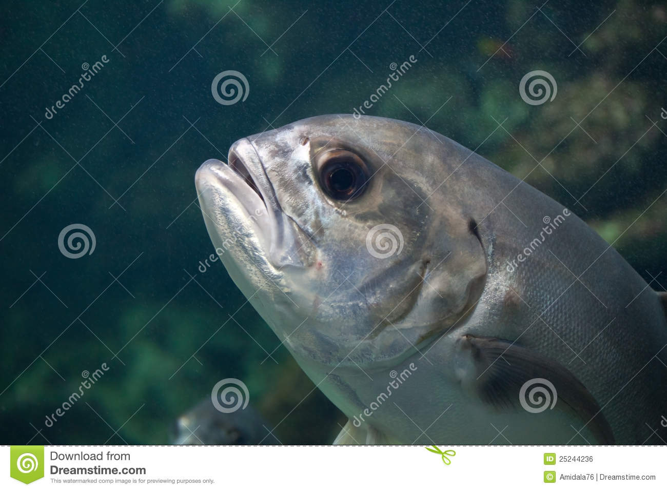 Moonfish royalty free stock image image 25244236 for Opah fish price