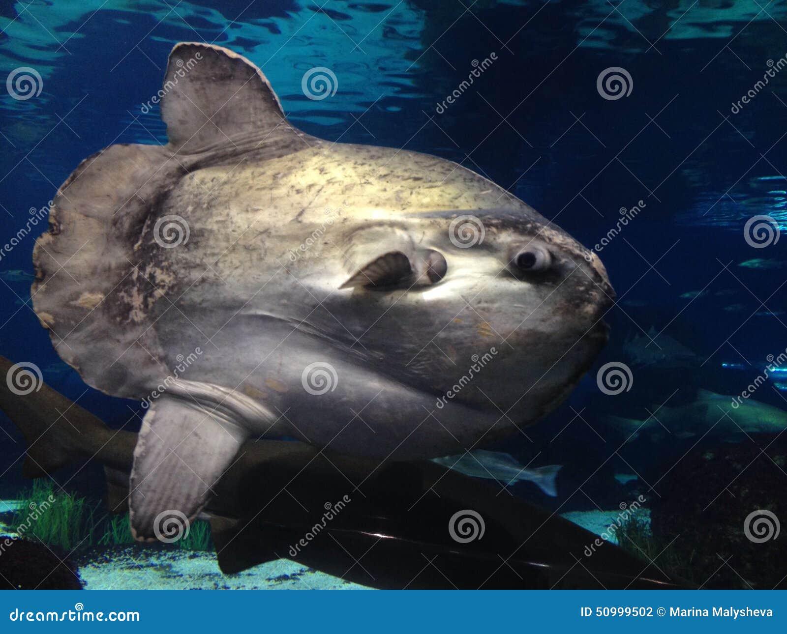 Moonfish stock photo image 50999502 for Opah fish price