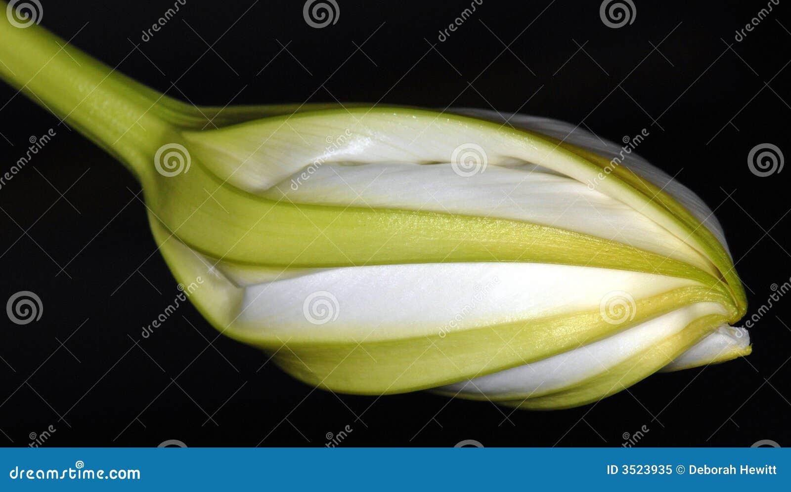 Moonflower de Nuit-Floraison