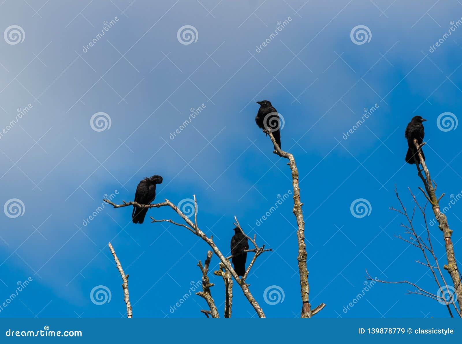 Moord van kraaien die zich op dode boomtakken verzamelen