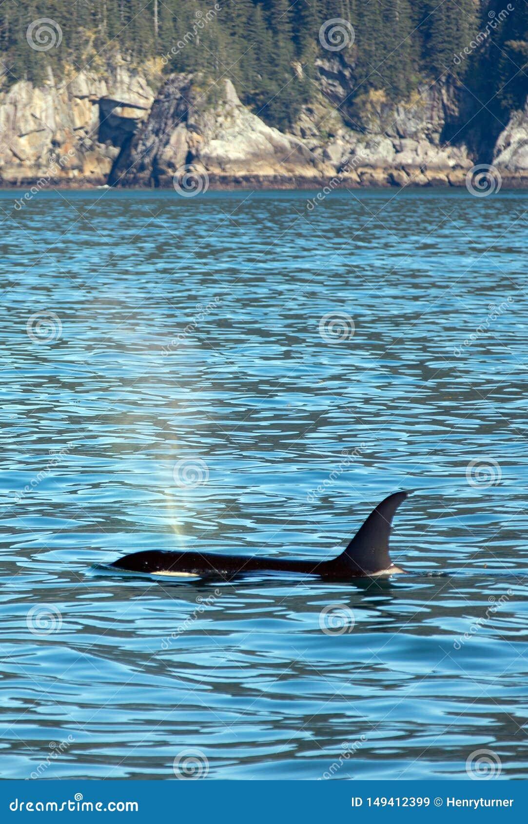 Moordenaar Whate die - Orka - in Kenai-Fjorden Nationaal Park ademen in Seward Alaska de V.S.
