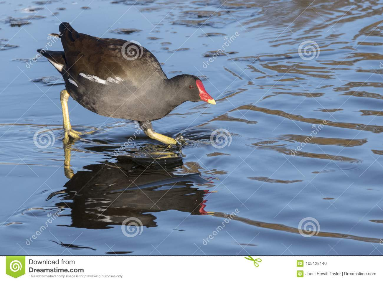 A moorhen on an icy pond : Southampton Common
