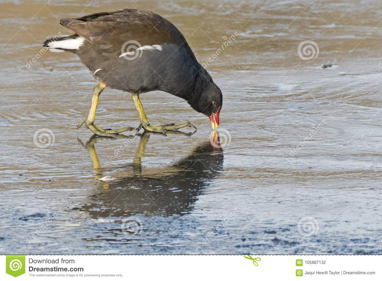 Download A moorhen pecking the ice stock photo. Image of pecking - 105887132