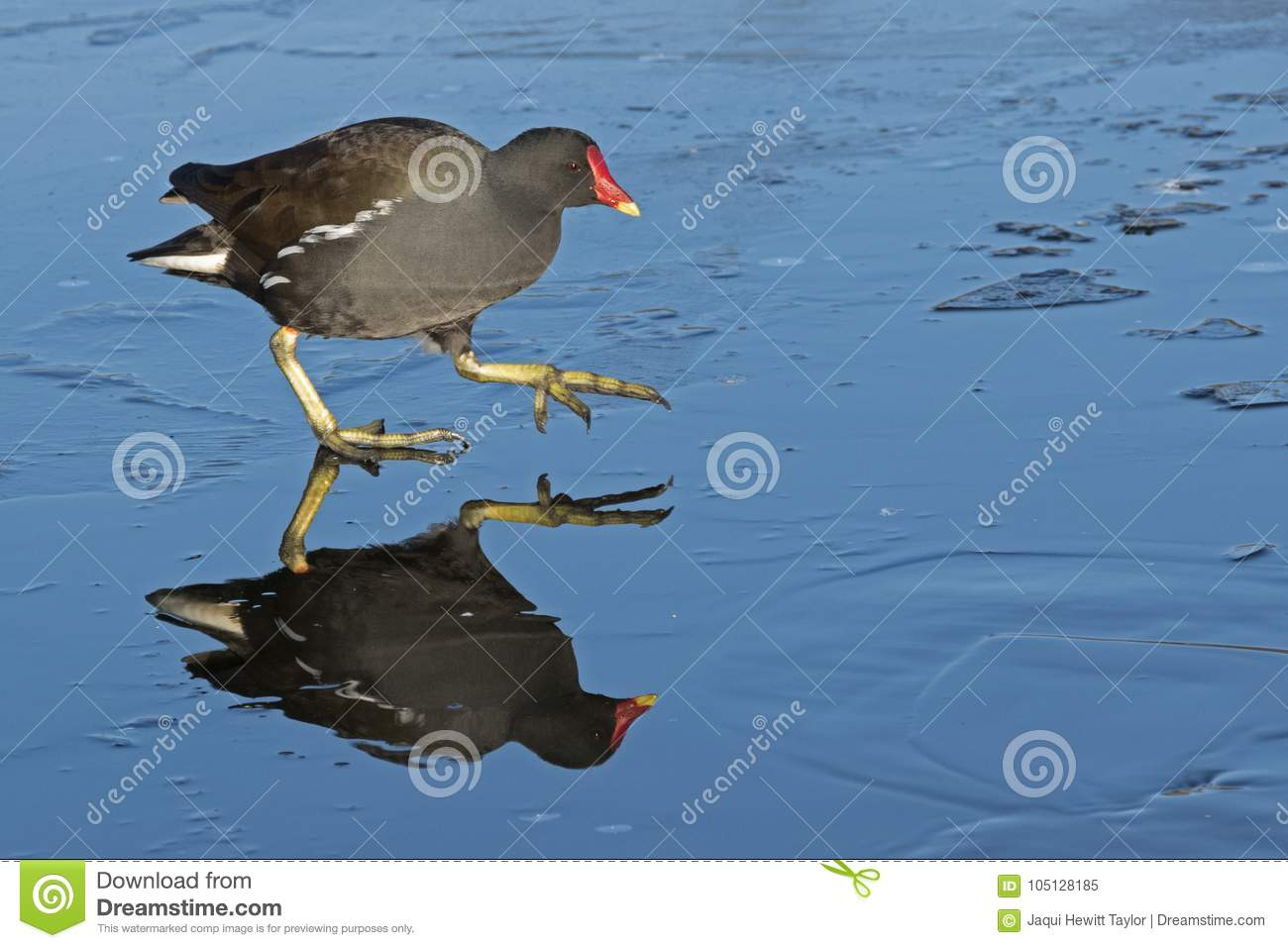 Download A Moorhen Walking On An Icy Pond : Southampton Common Stock Image - Image of pond, common: 105128185