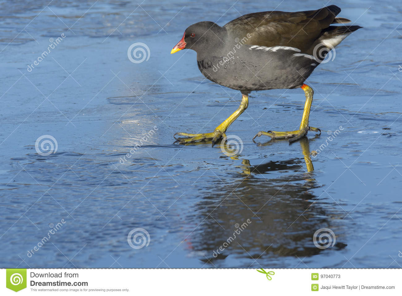 Moorhen walking on ice