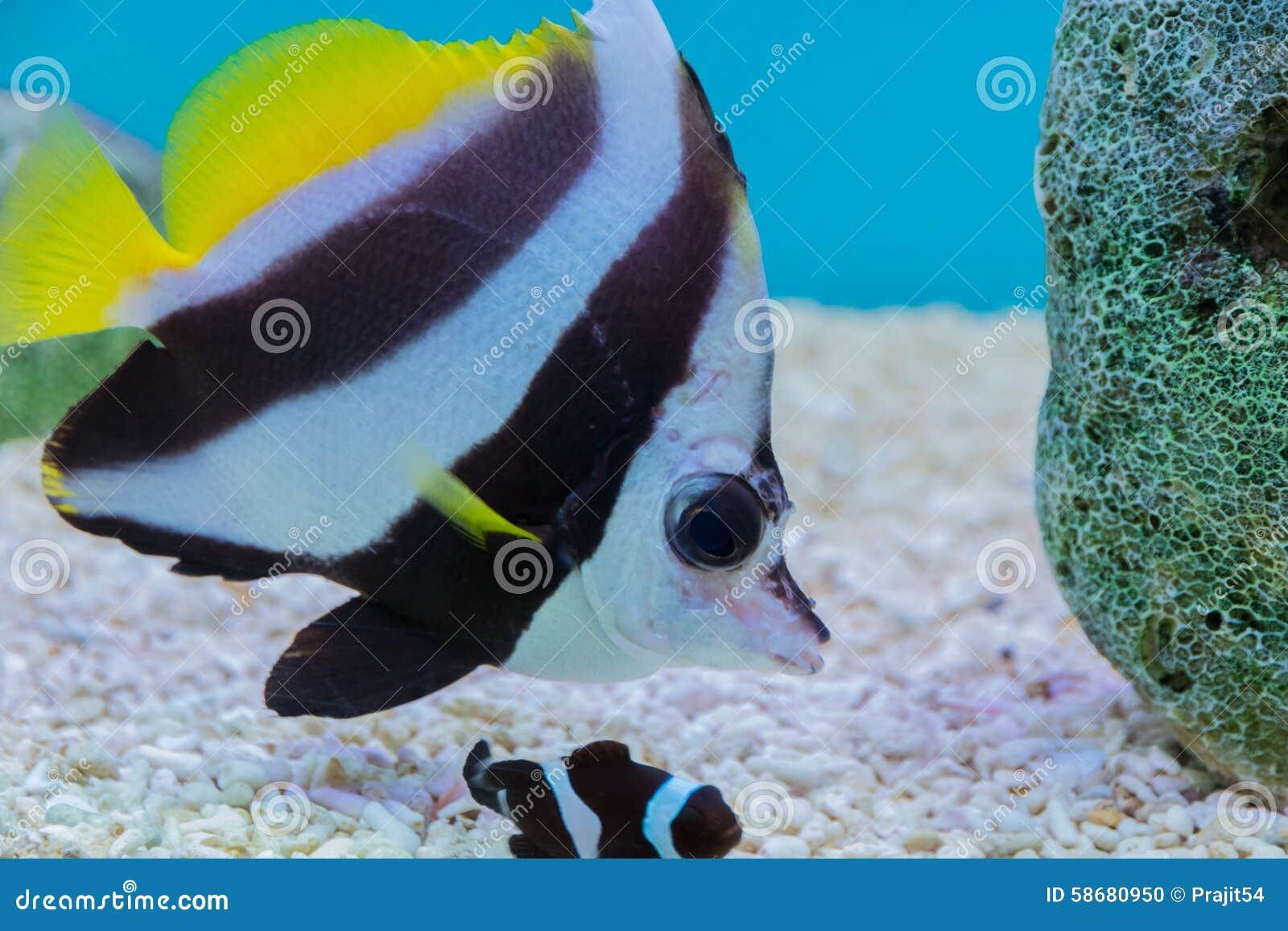 Moorish Idol Fish Stock Photo Image Of Coral Tank Fauna 58680950