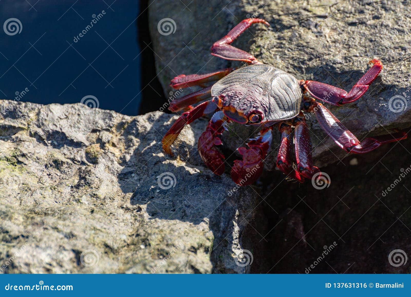 Moorish red legged crab (Grapsus adscensionis), a common crustacean of Gran Canaria, Canary Islands, Spain