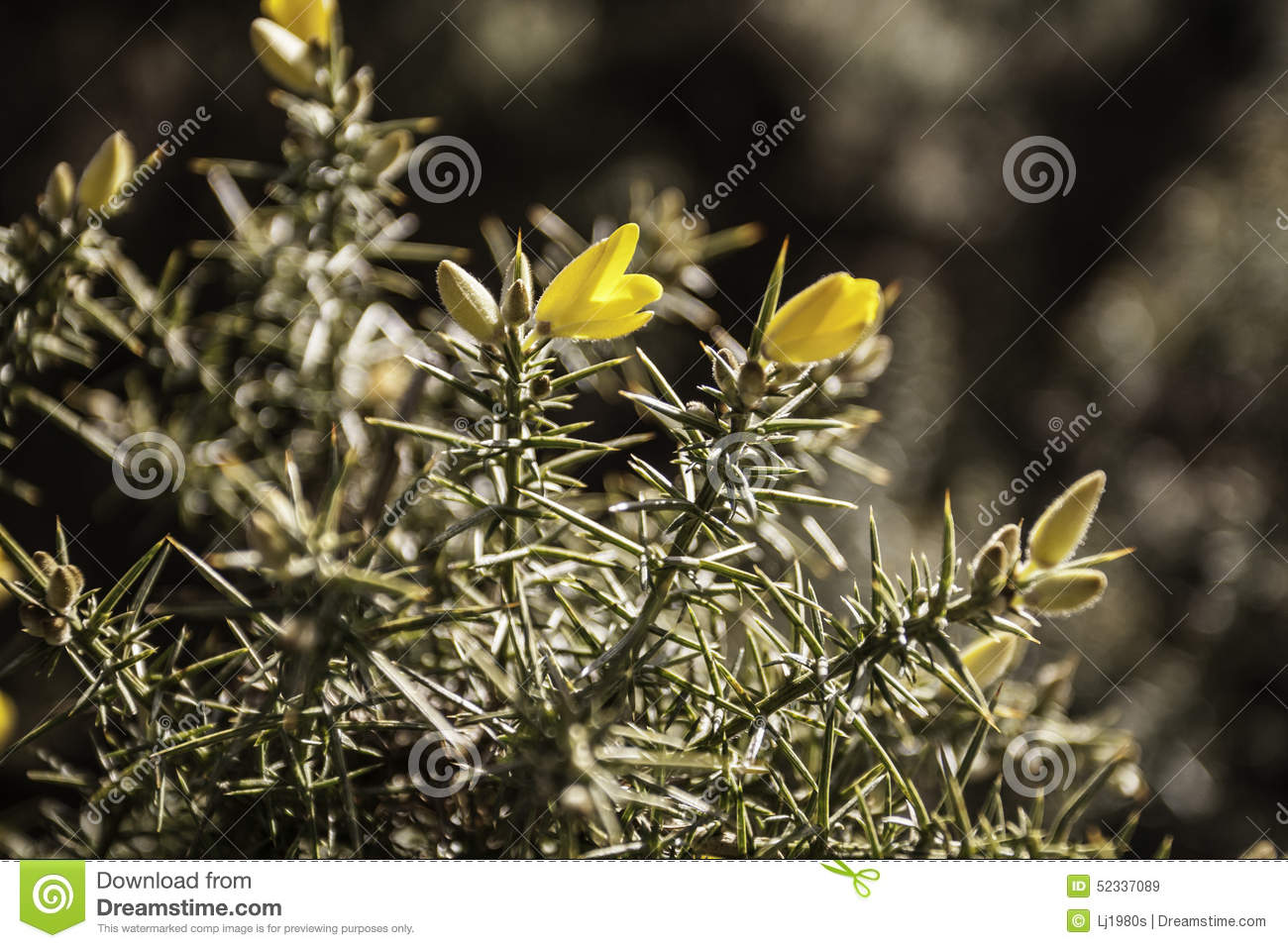 Moorland gorse bush stock image image of floral time 52337089 beautiful spiky moorland gorse bush in yellow flower in spring time mightylinksfo
