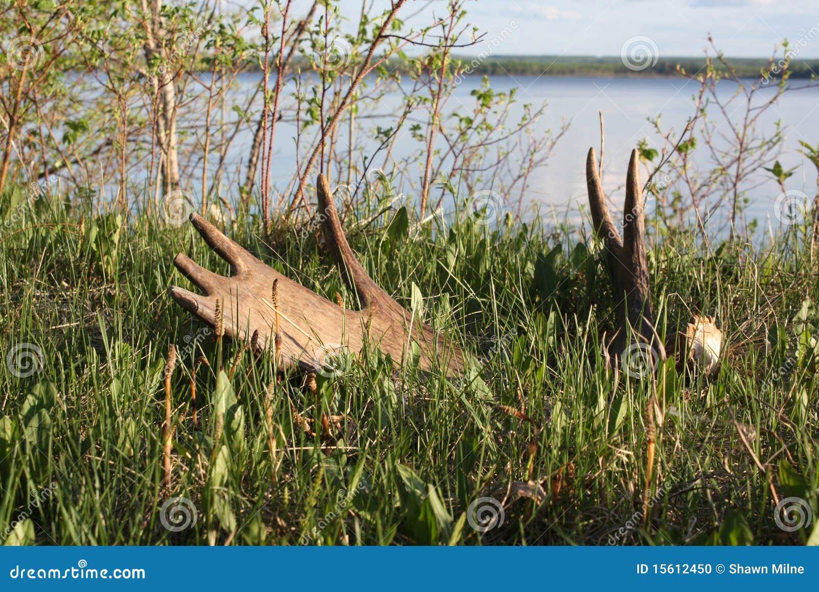 Moose Antlers Moose antler shed