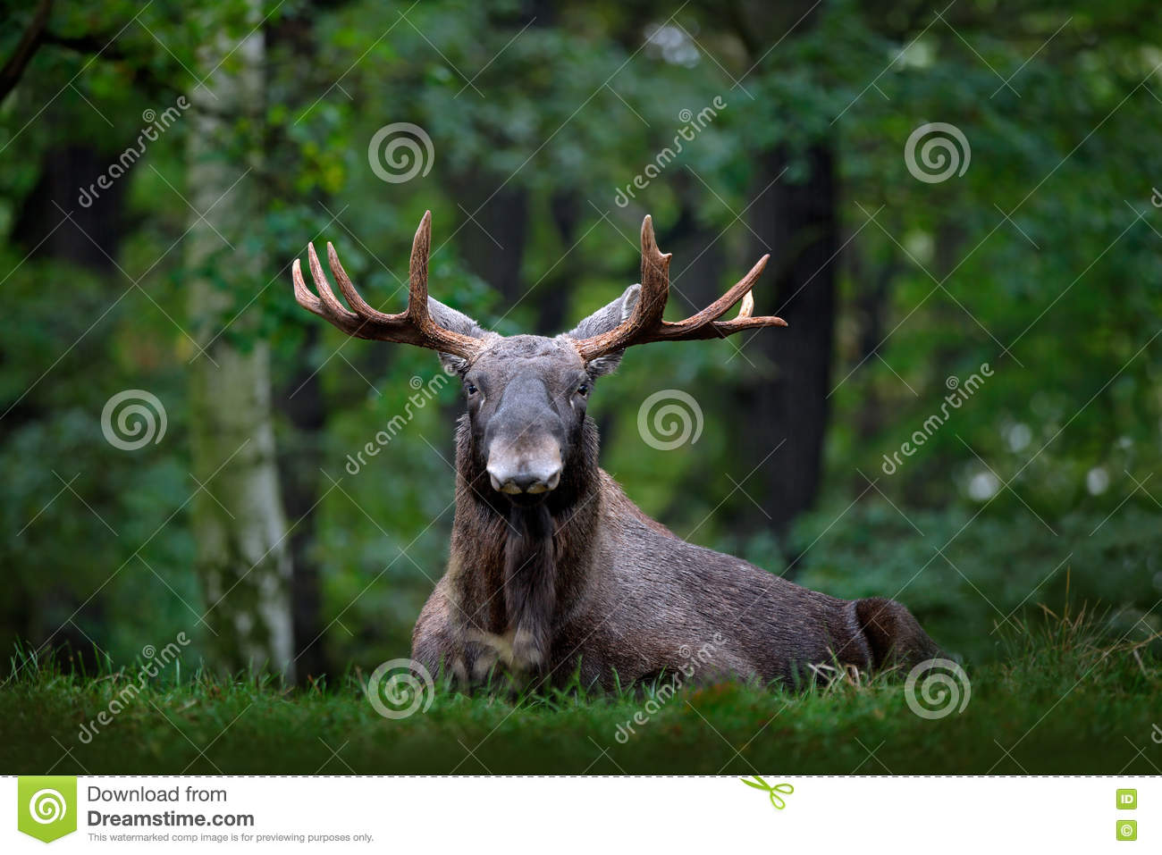 Moose, North America, or Eurasian elk, Eurasia, Alces alces in the dark forest during rainy day. Beautiful animal in the nature ha