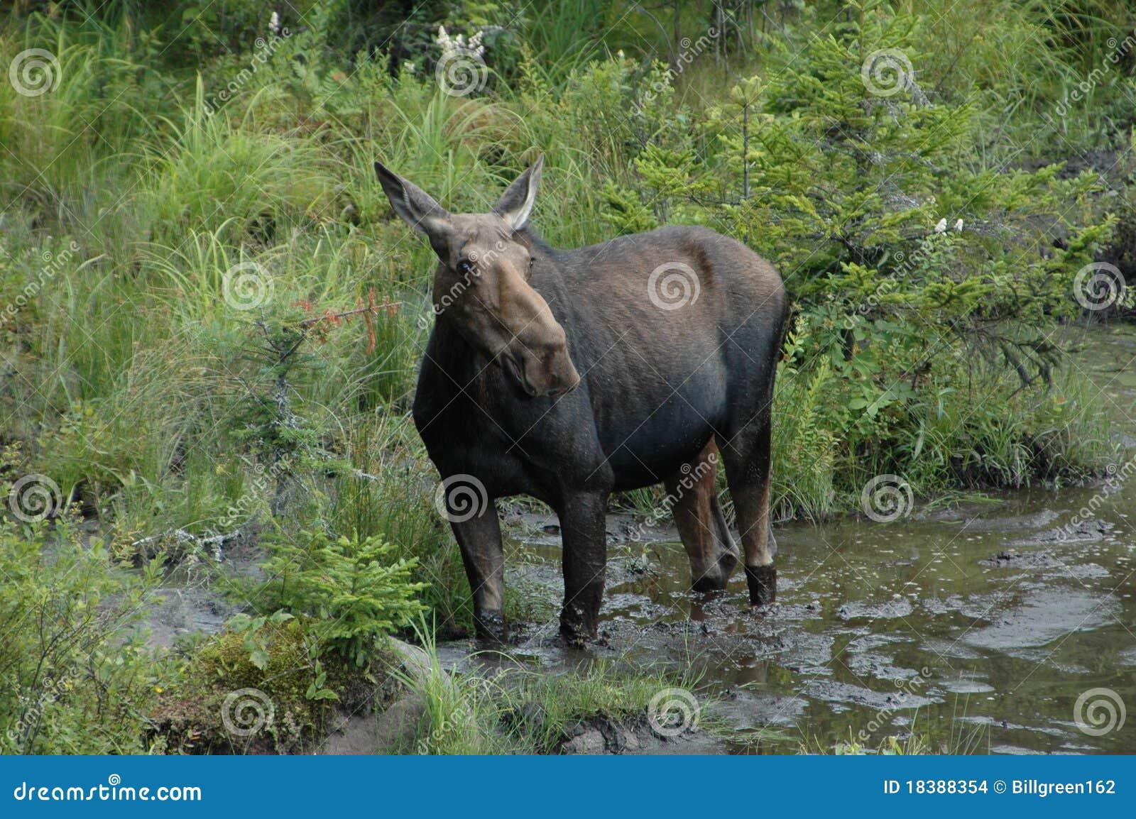 N.h. Moose Moose In White Mountai...