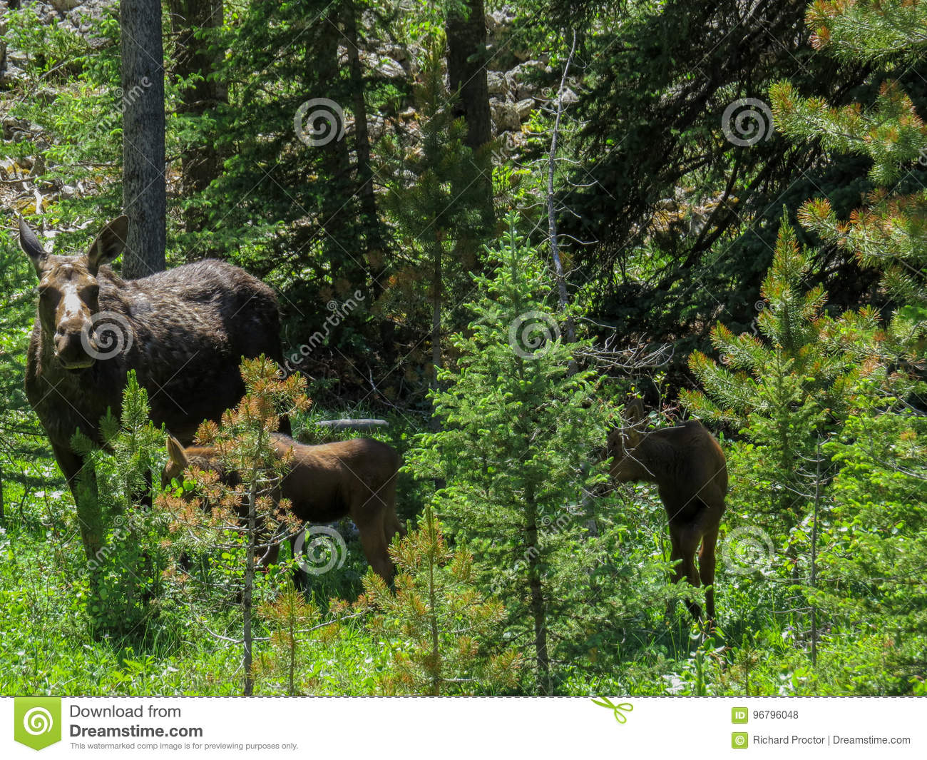 Moose in the wild with babies.