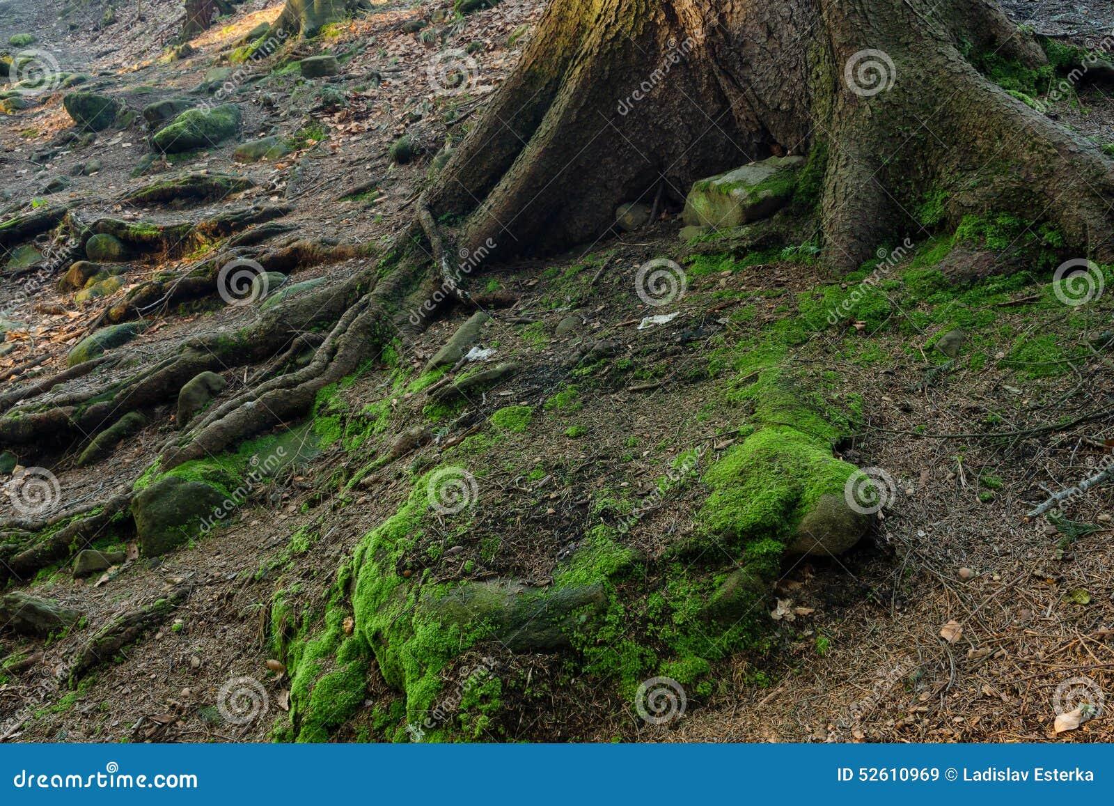 Moosige Felsen mit Wurzeln