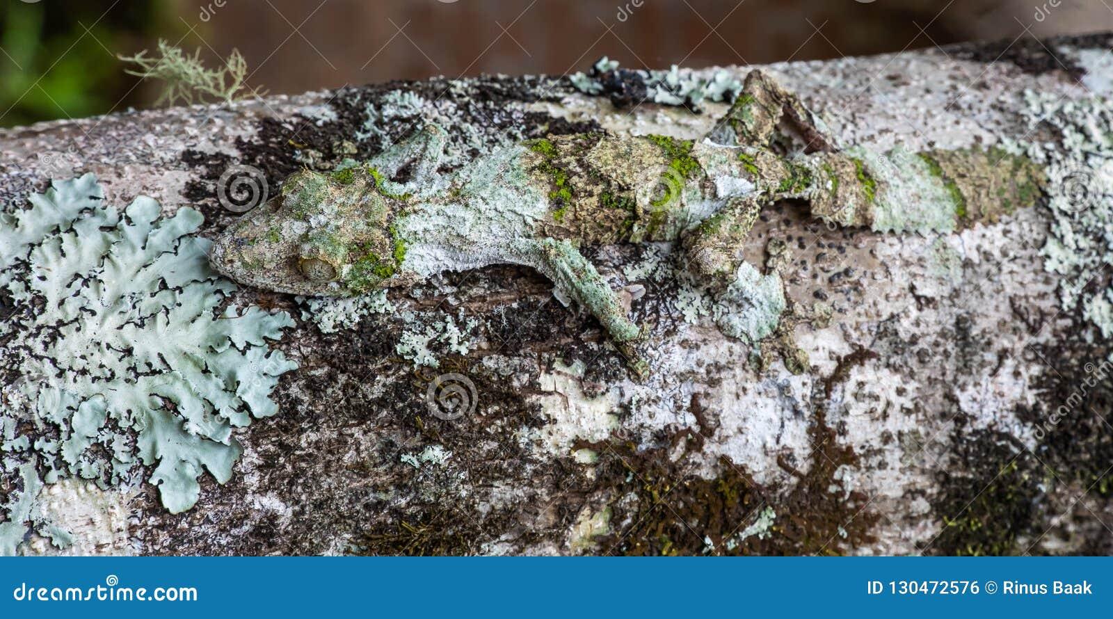 Moosiger Blatt-angebundener Gecko