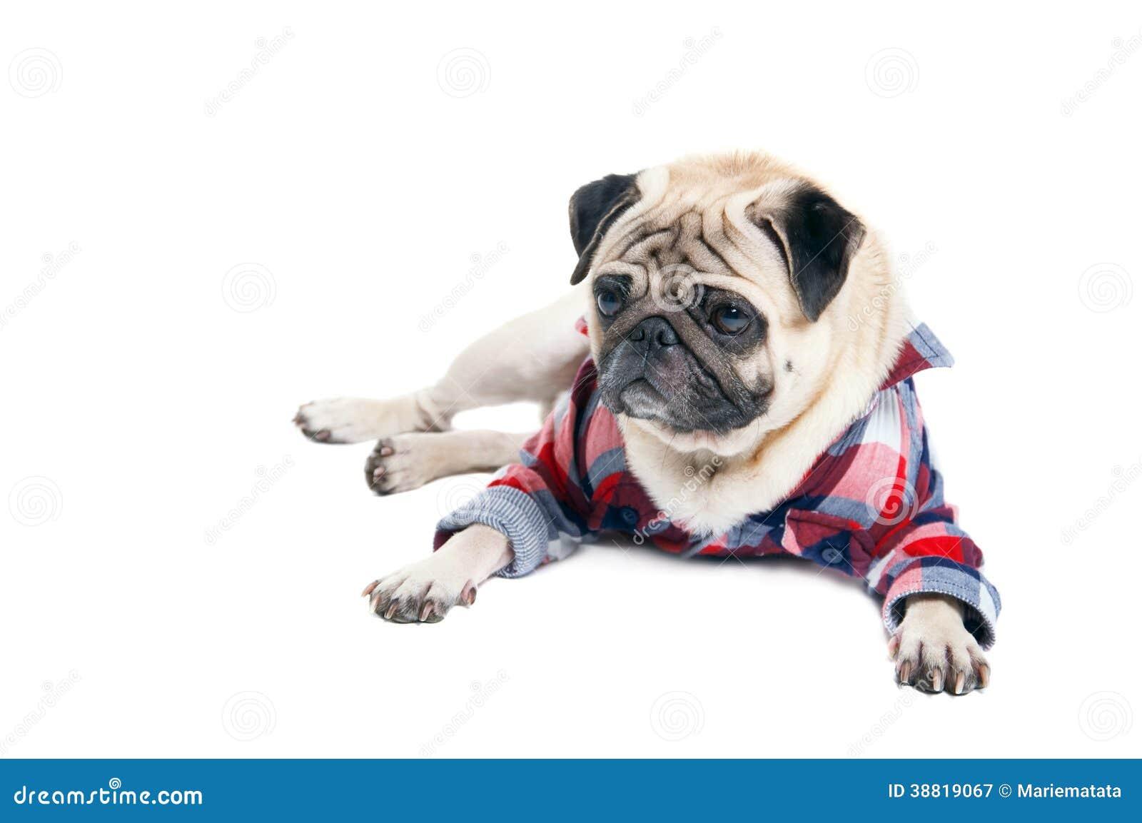 Mopsa pies w koszula