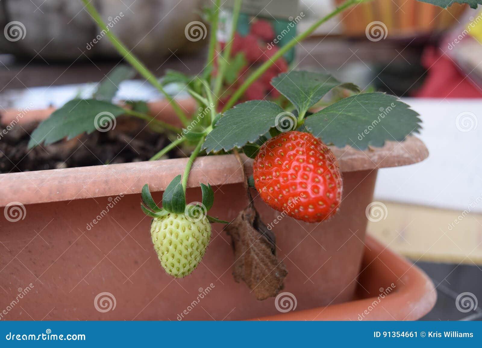 Morango crescente de uma planta do recipiente