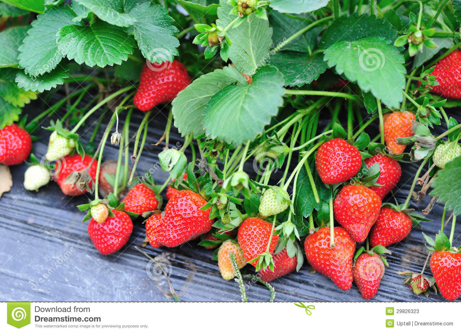 Crescimento de frutos da morango